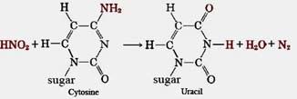 Cytosine to Uracil