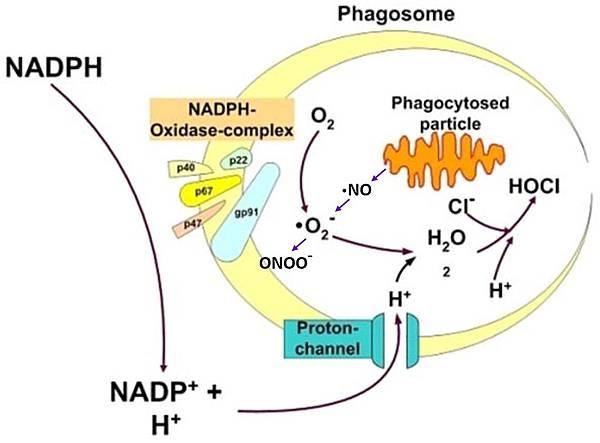 Phagocyte ROS NOS