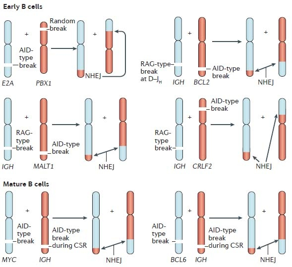 B cell translocation mechanism