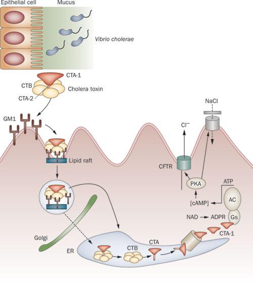 Cholera toxin
