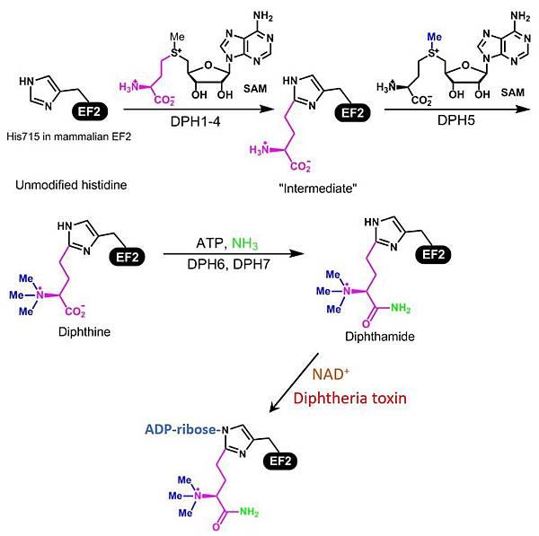 Diphtheria toxin ADP ribosylation2