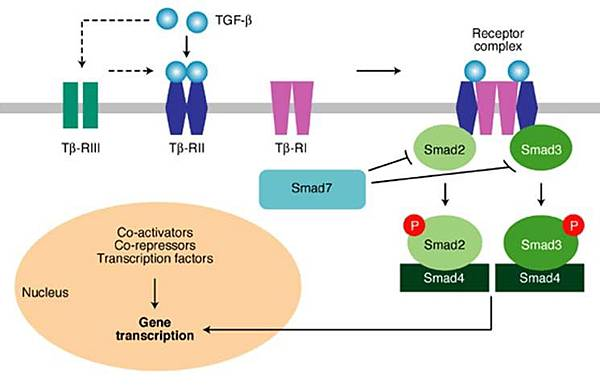 TGF-beta signaling