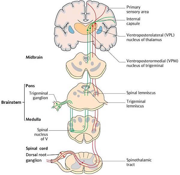 spinothalamic tract-DRG-TG