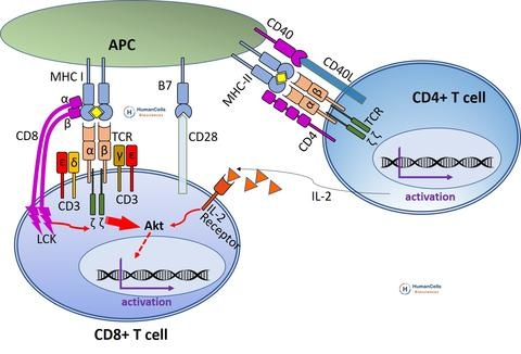 CD8_T_cell_activation_large