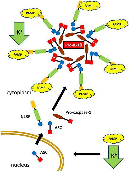 NLRP3 inflammasome