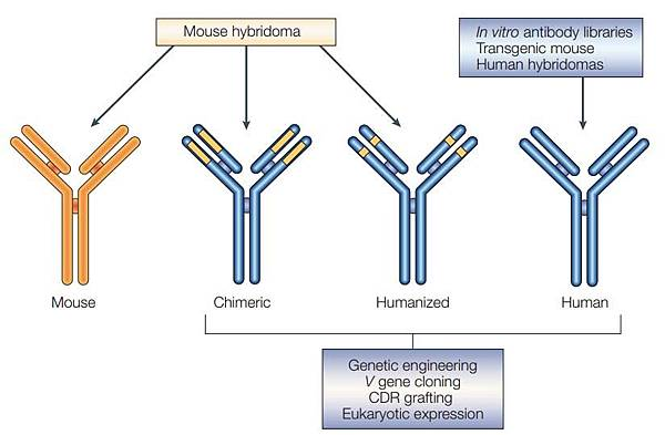 chimeric and humanized antibody
