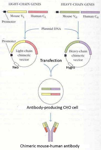 Chimeric antibody production