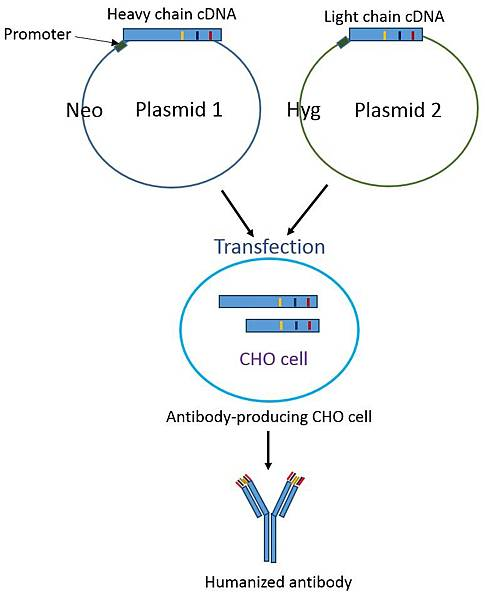 Production of humanized antibody