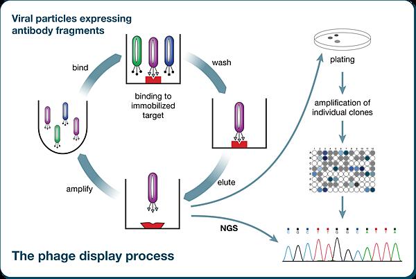 Phage-display-technology