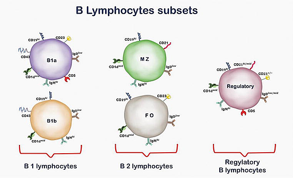 B cell subsets