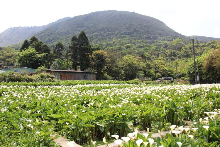 陽明山 竹子湖 賞海芋