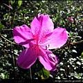 15-杜鵑花