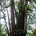 43-廿一號巨木(2)