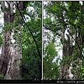 44-二十號巨木(1)