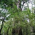 45-二十號巨木(2)