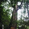 57-十號巨木