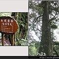 61-七號巨木(百褶擎天)