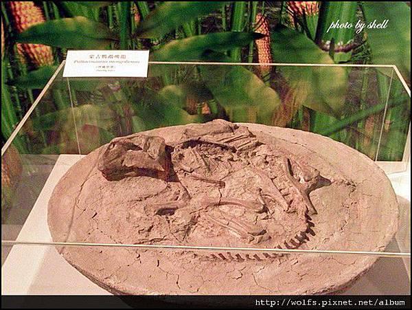 28-蒙古鸚鵡嘴龍