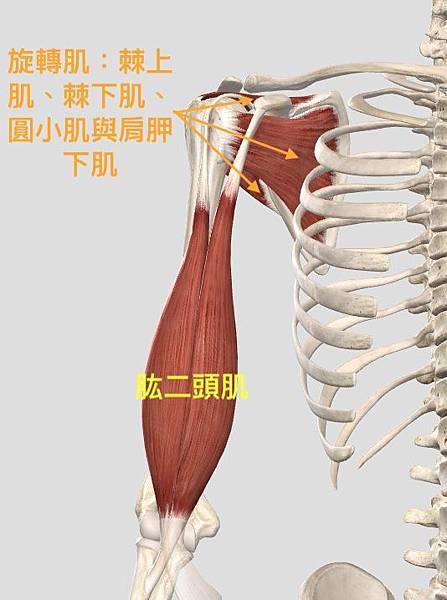 肱二頭肌.jpg