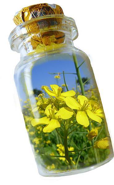 油菜花瓶1