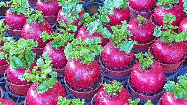 紅菜頭.jpg