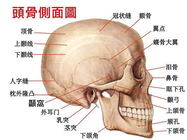 頭骨側面圖.jpg