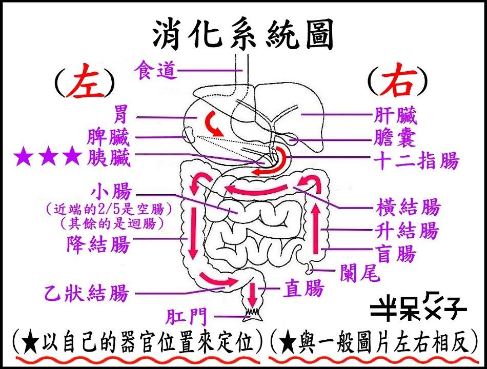 ●B-圖2(消化系統).jpg