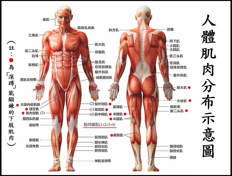 ●2肌肉.jpg