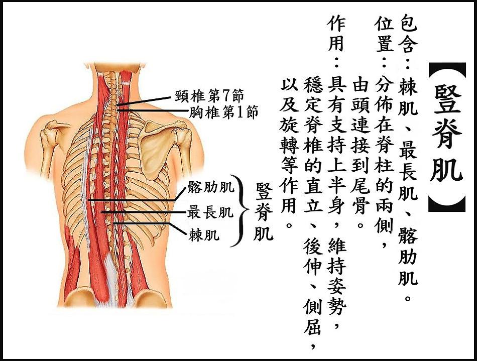 ●豎脊肌.jpg