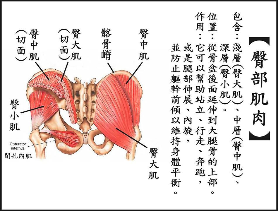 ●臀部肌肉.jpg