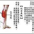 ●腓腸肌.jpg