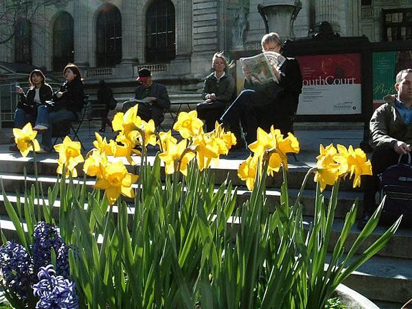 市立圖書館前的黃水仙