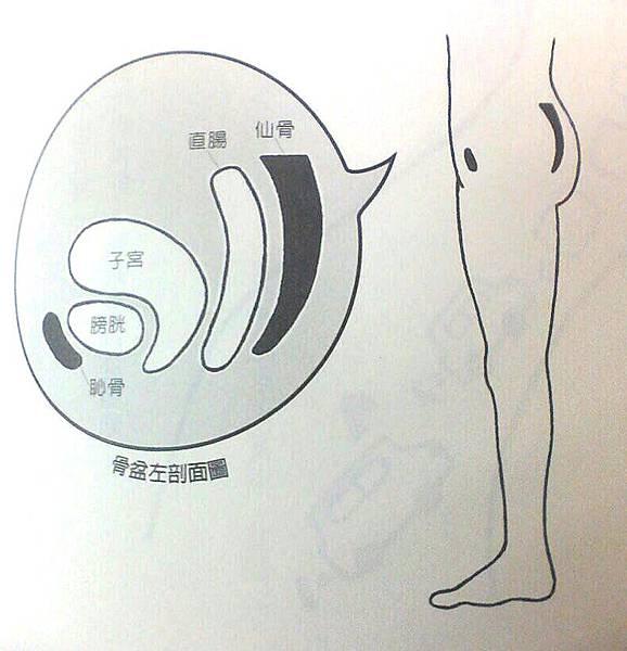 骨盆左剖面圖