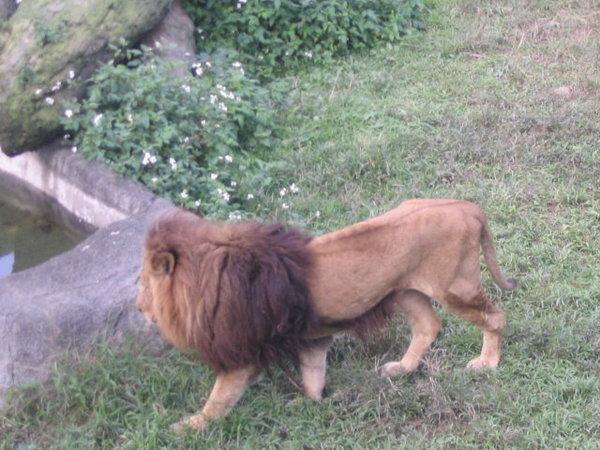 21-很瘦的老獅子