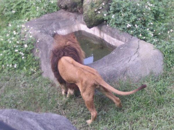 22-很瘦的老獅子