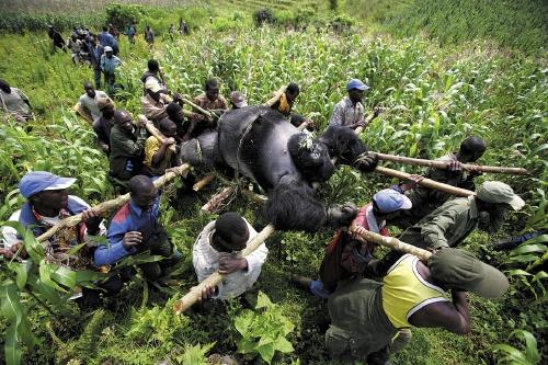 Virunga_DRCongo_gorrilla.jpg
