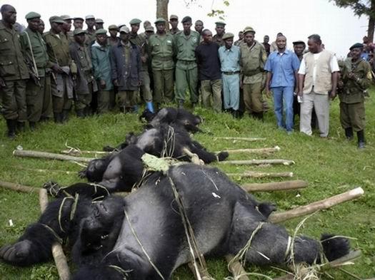 Virunga_DRCongo_gorrilla2.jpg