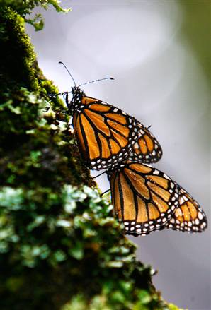 Monarch_Mexico_06.jpg