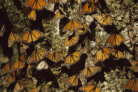 Monarch_Mexico_07.jpg