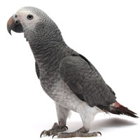 timneh-african-grey