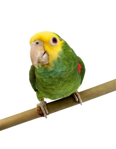 Double-Yellow-Headed-Amazon-2