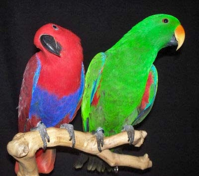 Eclectus2WBPa_AcB260