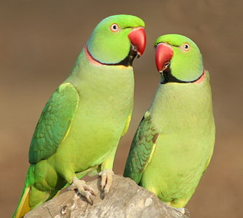 Indian_Ringnecks_site_edit