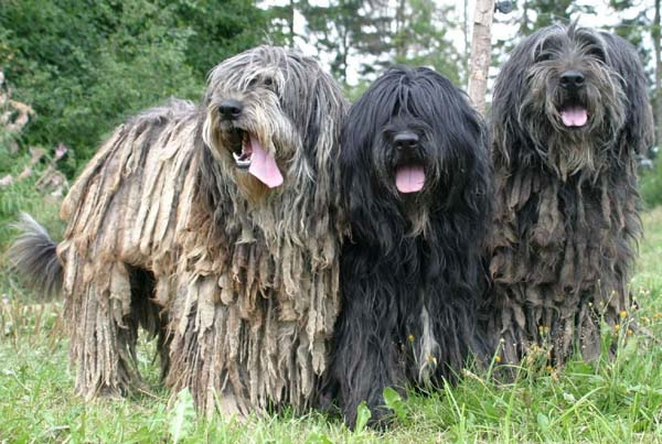 Bergamasco-pictures