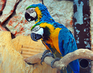 Schläfrige_Gelbbrustaras_(sleepy_Blue-and-yellow_Macaws)_Weltvogelpark_Walsrode_2010