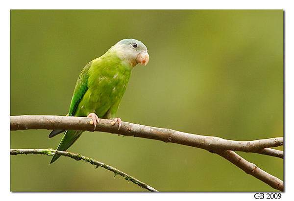 Gray-cheeked%20Parakeet%20-%2003