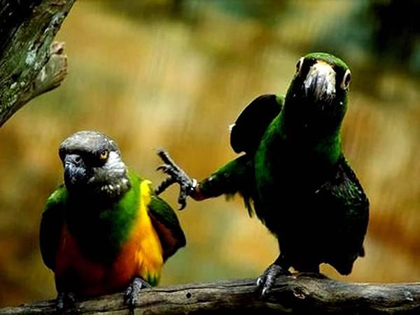 Amazing-Fight-Parrot-Desktop-Wallpaper