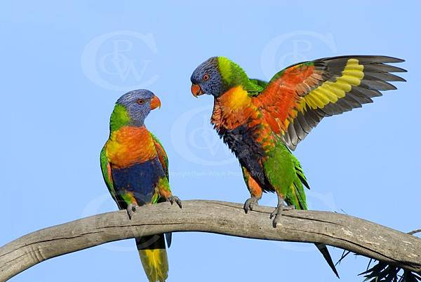 OWB0034%20RainBow%20Lorikeets%20Fighting%20_DSC0060