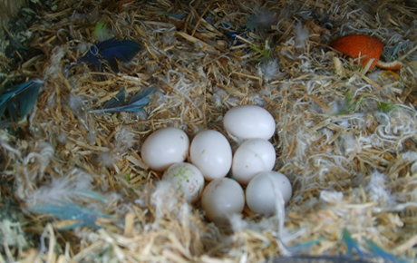 GREY-parrot-eggs