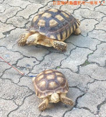 巨型寵物龜